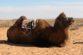 Озеро – пустыня – верблюды